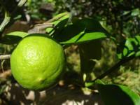 El limón mexicano. Será limón o ... ¿será lima?