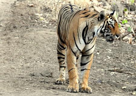 Una leona, tres tigres, un cocodrilo y 23 tortugas fueron asegurados por haber sido adquiridos ilegalmente en Sonora, México