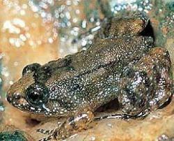 Nyctibatrachus minimus, una rana de un centímetro descubierta en la India
