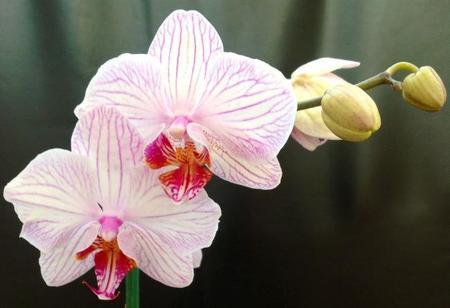 Orquídeas: cuidados esenciales y dónde colocarlas
