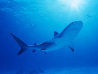 Cartílago de tiburón: un alimento muy beneficioso