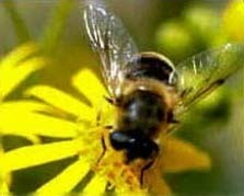 Millones de abejas desaparecen en EEUU