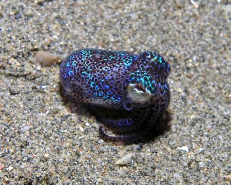 1280px Bobtail Squid