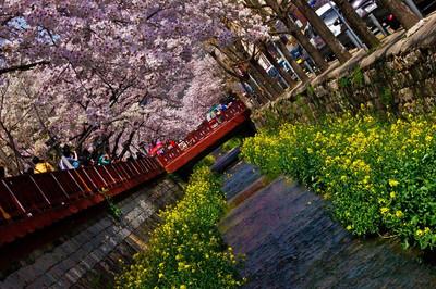 Calendario 2012 para contemplar los cerezos en flor en Corea