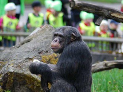 Los chimpancés saben imitar mejor de lo que pensábamos