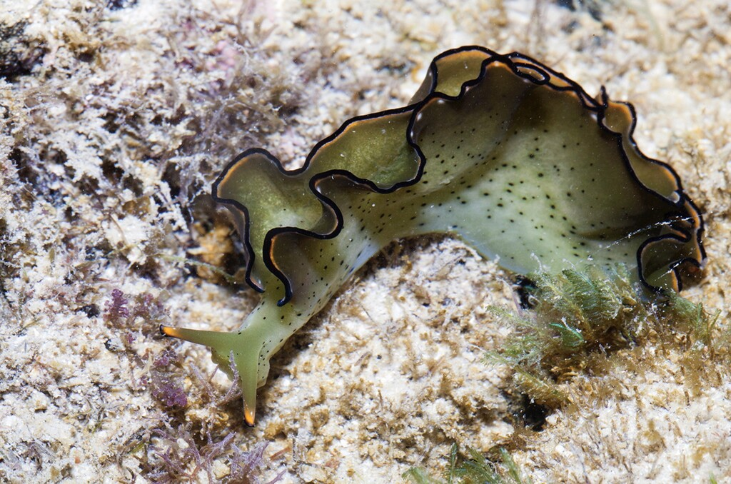 La babosa marina que se decapita a sí misma para regenerarse con un nuevo cuerpo