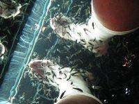 La ictioterapia o peces Garra Rufa