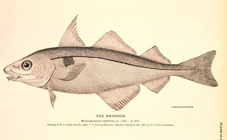 Un eglefino no es un bacalao