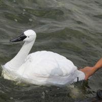 Parece cisne, pero en realidad es un avanzado robot que busca medir la calidad del agua