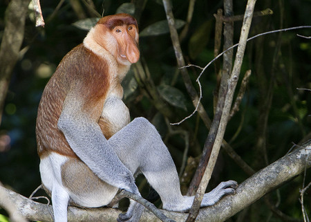 1024px Proboscis Monkey In Borneo