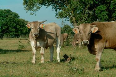Cómo preparar y cortar carnes: vacuno