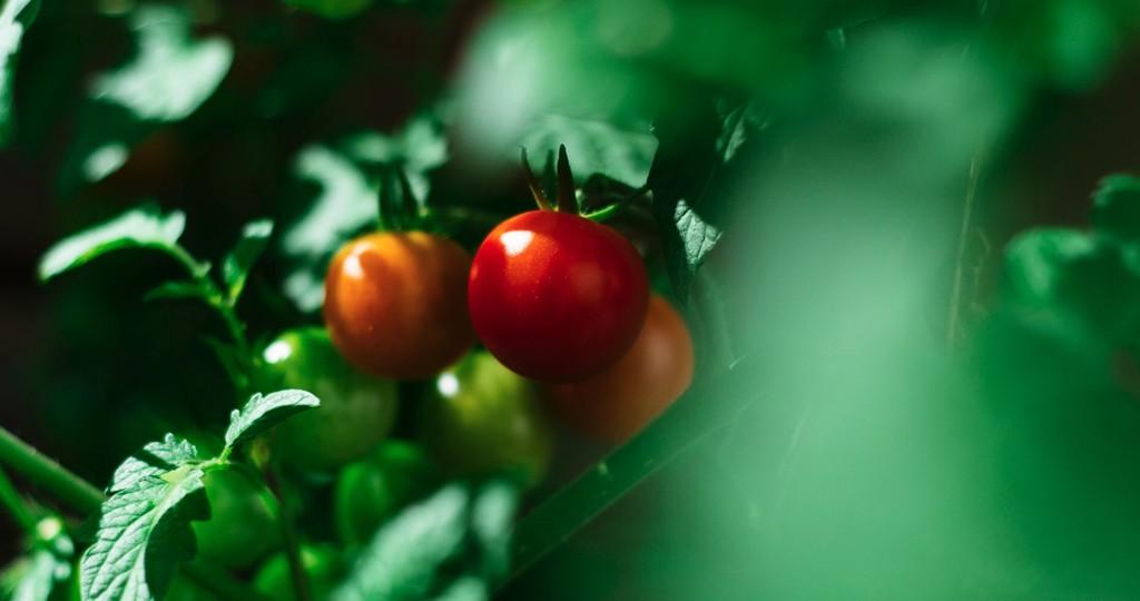 Los tomates hablan entre ellos (aunque nadie sabe qué significan las señales eléctricas que usan para hacerlo)