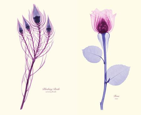 Bellas fotos con rayos X de flores, por Brendan Fitzpatrick