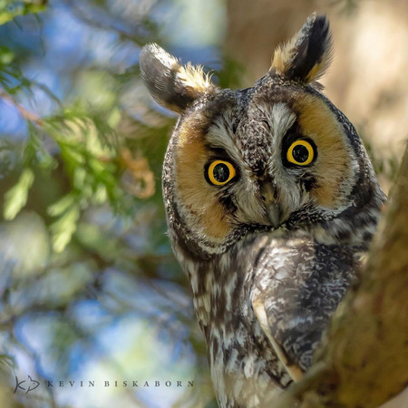 Kevin Biskaborn Long Eared Owl