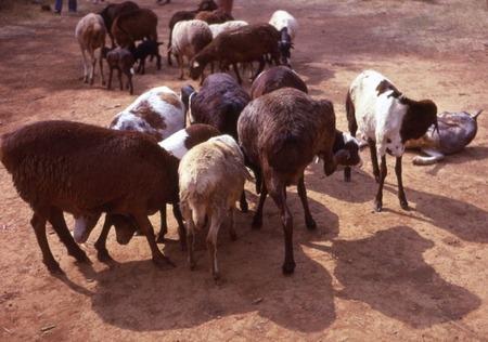 cabras masai