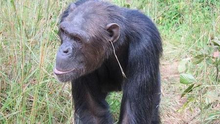 ¿Los animales también van a la moda? Descubren chimpancés que se ponen pendientes