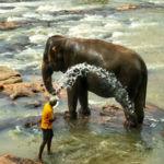 El orfanato de elefantes de Pinnawala