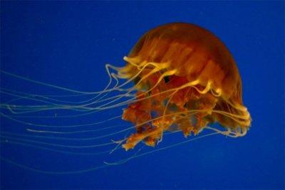 Las medusas, una moda alimenticia al servicio de nuestra salud