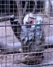 Un reality chino encerrará a sus concursantes en una jaula con monos