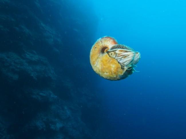 Allonautilus