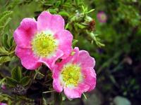 Rosa Mosqueta, el aceite milagro