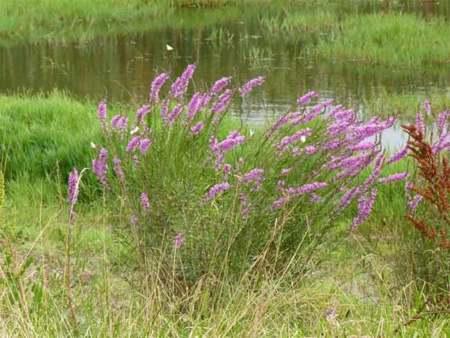 Salicaria, una planta que mejorará nuestra salud