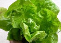 La lechuga: un alimento sencillo lleno de beneficios