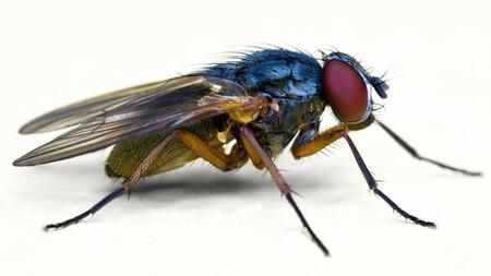12 curiosidades extraordinarias sobre las moscas, uno de los animales más repudiados