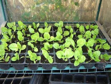 Trucos para crear un huerto en casa y tener verduras ecológicas (II). Los semilleros