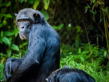 A las chimpancés no les interesan de los juegos de poder de los machos