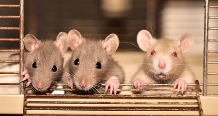 Las ratas que consumen los anticoagulantes que usamos como matarratas siguien multiplicándose y se hacen más resistentes