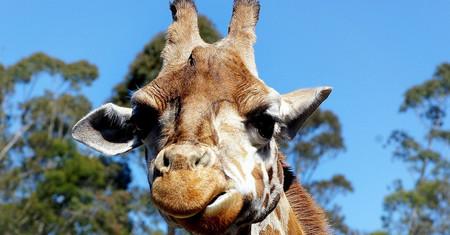 La leche de jirafa o de cerda es tan nutritiva y sabrosa como la de vaca. ¿Por qué no la estamos bebiendo?