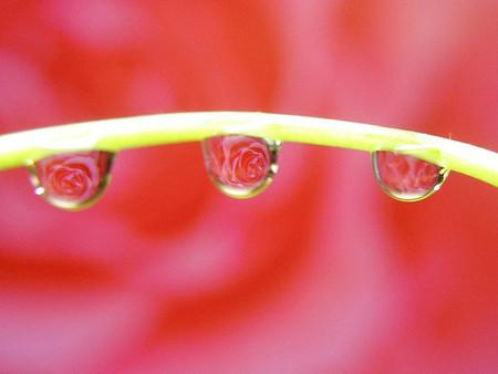 Roses in drops de tanakawho