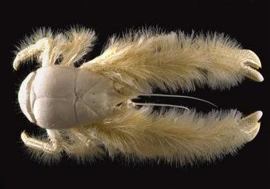 Descubierta una nueva especie de cangrejo, el Kiwa hirsuta
