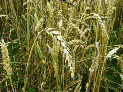 Con esta técnica se podría lograr que los cultivos de trigo se multiplicaran por seis
