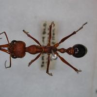 Comparamos la hormiga más pequeña del mundo con la más grande