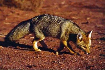 Singularidades extraordinarias de animales ordinarios (y XLVII): el zorro