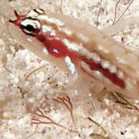 Este es el pez menos longevo del mundo y vive menos de dos meses