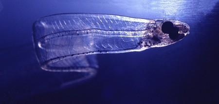 [Vídeo] Leptocéfalos, la curiosa forma larvaria de algunos peces