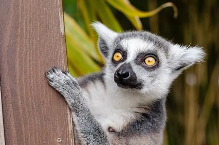 Lemur 1045220 960 720