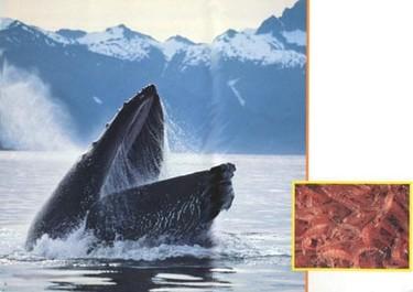 El krill, ¿el alimento del futuro?