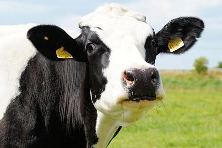 Cow 394148 640