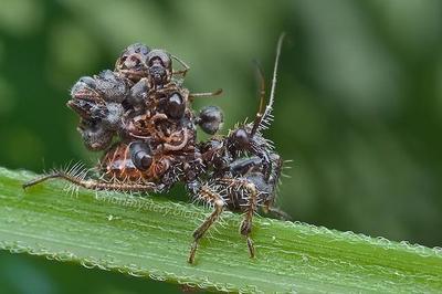 El insecto que usa insectos muertos como armadura