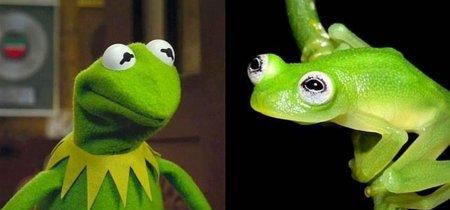 La rana con los mismos ojos que la rana Gustavo de los Muppets