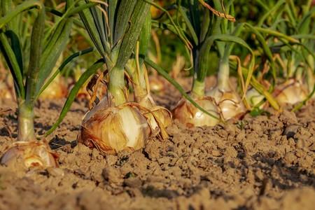 Beneficios Cebolla Por Que Hace Llorar Al Cortarla