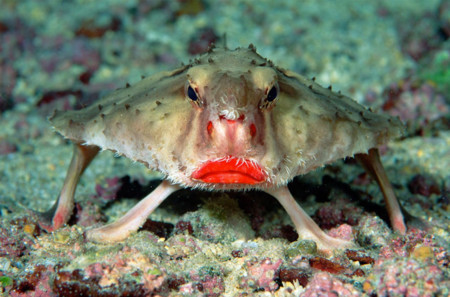 Pez murciélago de labios rojos