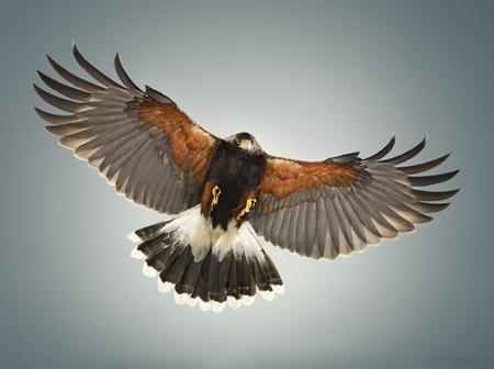 ¿Fotografiar un halcón volando en estudio? Karl Taylor acepta el reto