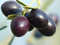 ¿Es realmente aceite de oliva, el aceite de oliva que consumimos?