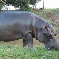 Un hipopótamo aparece en Las Choapas, Veracruz y nadie de sabe de dónde vino; Profepa recomienda no acercársele