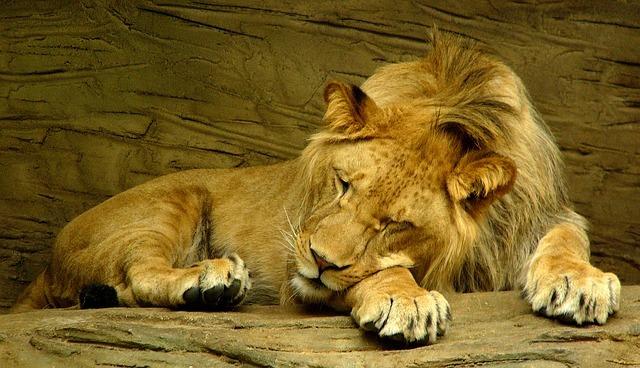 Lion Sleeping 601947 640